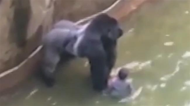 Outrage sparked over shooting of rare gorilla in US