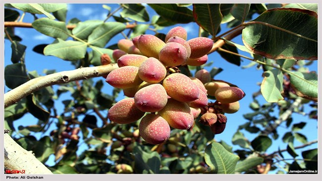 Iran, US have stiff competition in global pistachio market