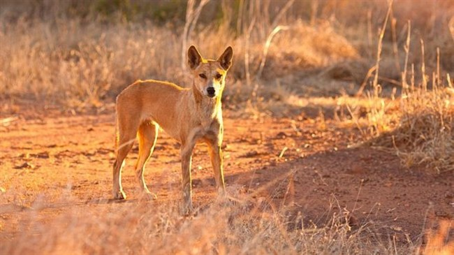 Father saves toddler from dingo attack in Australia