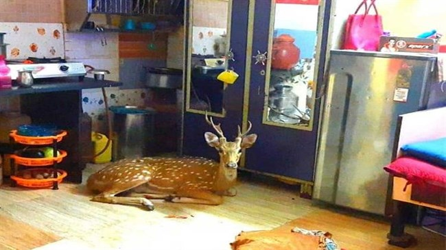 Chased by leopard, deer crashes through roof in Mumbai slum