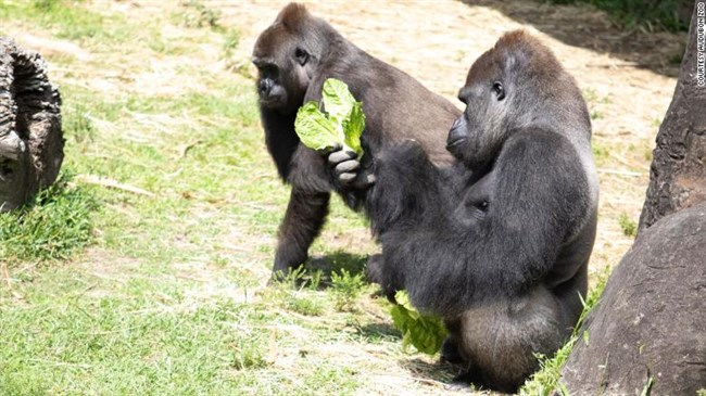 A critically endangered gorilla is about to be a mom, using a doll for practice