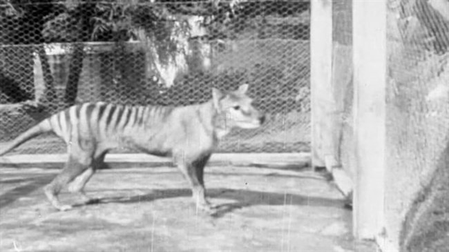 Wildlife expert pours cold water on claims Tasmanian tiger family spotted