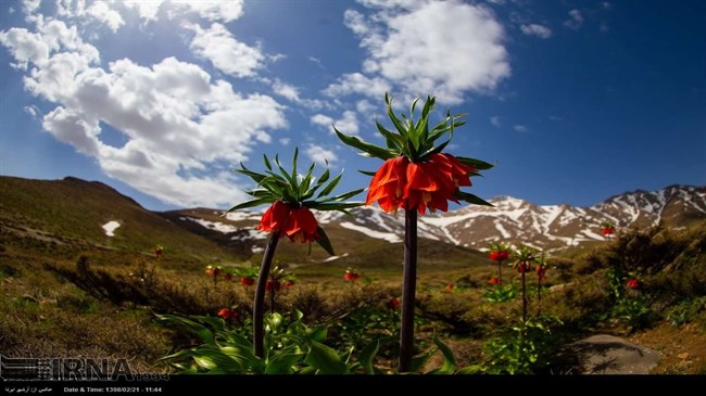 The darling reverse tulips of May in central Iran